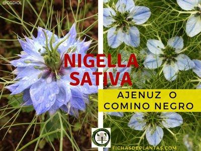 Ajenuz, Nigella sativa | DESCRIPCIÓN Y PROPIEDADES MEDICINALES