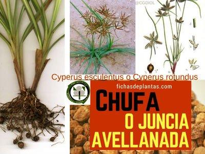 Chufa Planta herbácea, Medicinal y Comestible
