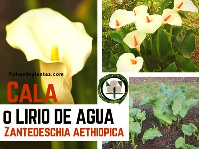 Cala planta del genero Zantedeschia