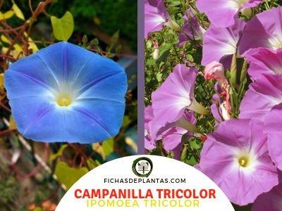 Campanilla Tricolor, Ipomoea tricolor | DESCRIPCIÓN Y PROPIEDADES MEDICINALES
