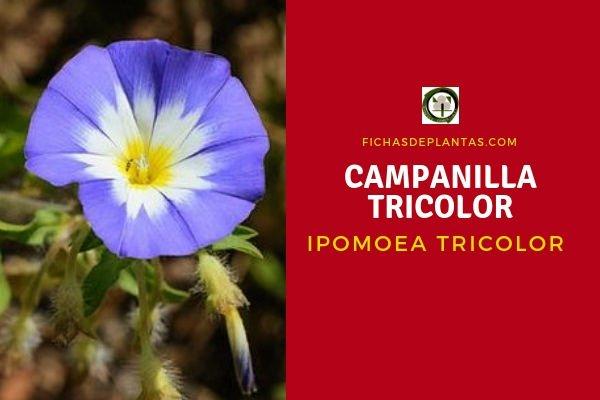 Campanilla Tricolor Propiedades