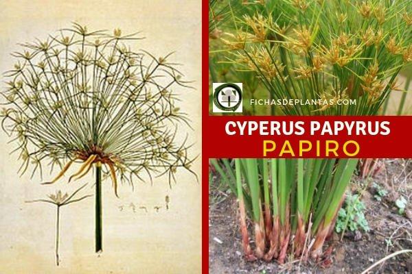 Cyperus papyrus, Papiro Planta