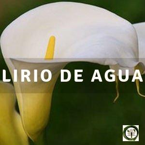 Cala, Flor de Jarro o Lirio de Agua