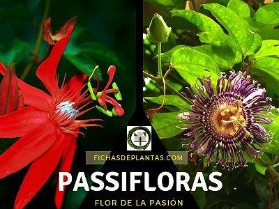 Passiflora o Flor de la Pasión