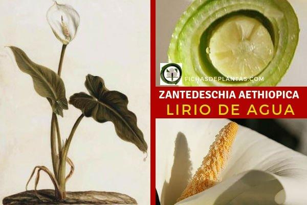 Zantedeschia aethiopica, Cala