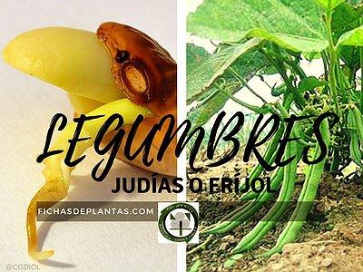 legumbres-frijol