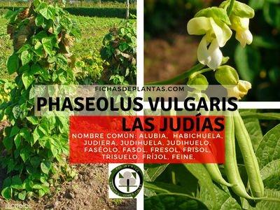 Las Judías | Descripción Botánica, Propiedades y Usos Medicinales