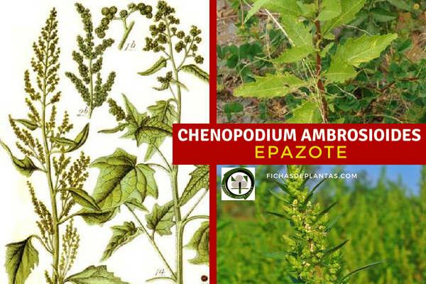 Chenopodium ambrosioide