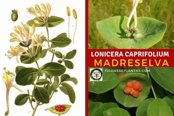 Lonicera caprifolium, Madreselva