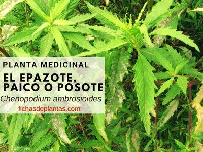 Epazote, Chenopodium ambrosioides | BOTÁNICA, PROPIEDADES Y USOS