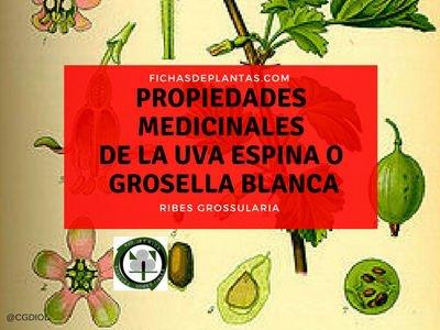 planta-de-grosella-propiedades-medicinales
