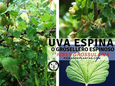 Uva Espina o Grosella espinosa | DESCRIPCIÓN Y USOS MEDICINALES
