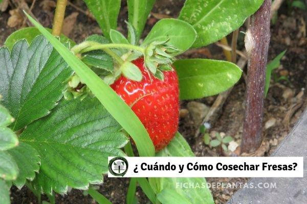 Cosechar Fresas
