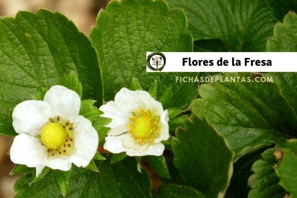 Flores de la Fresa, Imagen