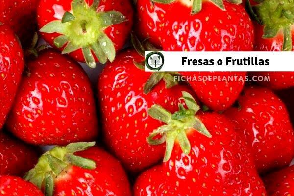 Fresa o Frutillas