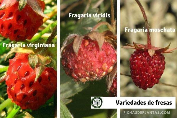 Variedades de Fresas
