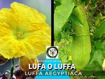 Lufa o Luffa Planta Cucurbitaceae