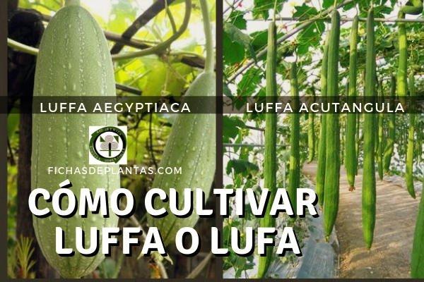 Cultivo de la Luffa o Lufa