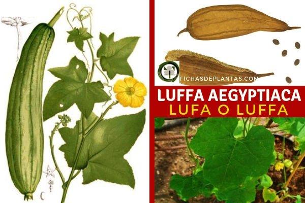 Luffa aegyptiaca, Lufa