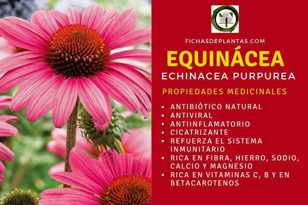 equinacea beneficios
