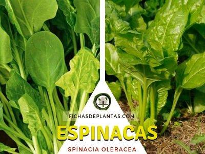 Espinacas, Spinacia oleracea | DESCRIPCIÓN Y PROPIEDADES MEDICINALES