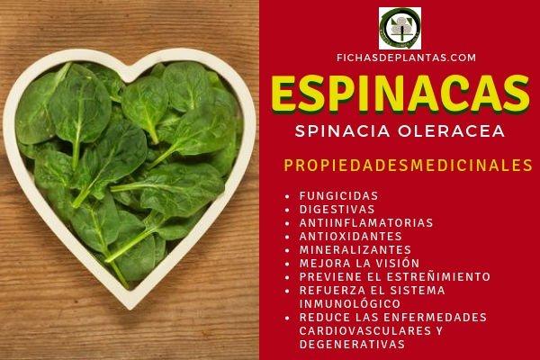 Espinacas, Propiedades