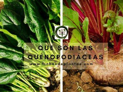 Las Plantas Quenopodiáceas