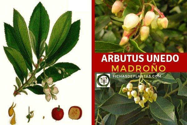 Arbutus unedo, Madroño