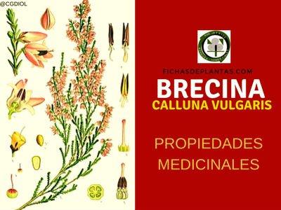 Calluna vulgaris, Propiedades Medicinales