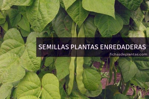 Semillas Plantas Enredaderas