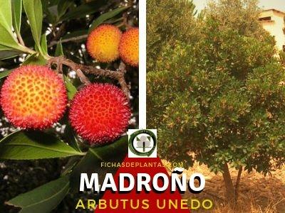 Madroño, arbusto Ericáceas