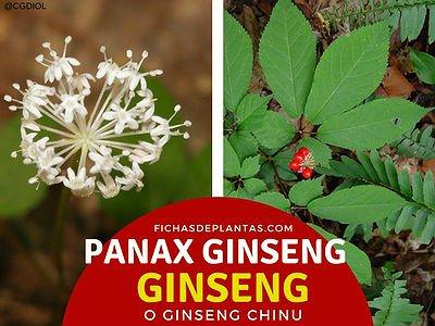 Gingseng, Panax ginseng | DESCRIPCIÓN Y PROPIEDADES MEDICINALES
