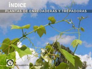Plantas Enredaderas y Trepadoras