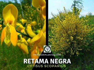 Retama Negra, Cytisus scoparius | DESCRIPCIÓN, PROPIEDADES Y USOS