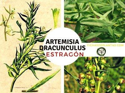 Artemisia dracunculus, Estragón o Tarragón