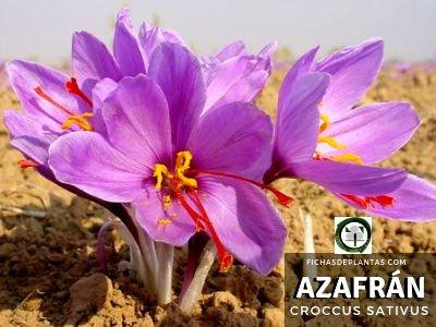 Azafrán Planta