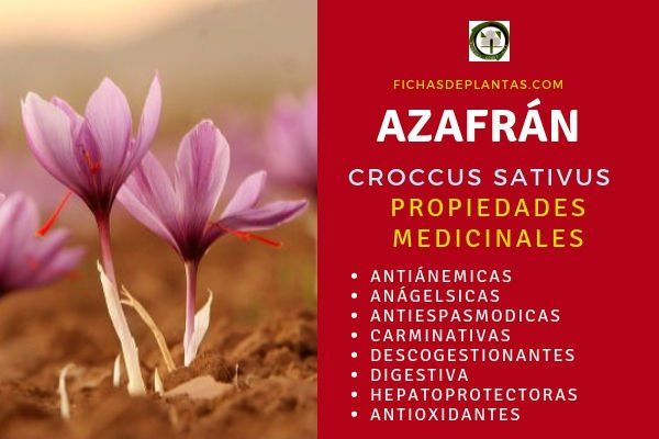 Azafrán Propiedades Medicinales
