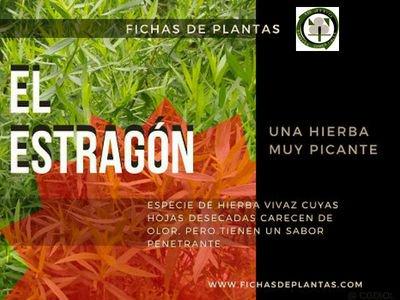 Estragon, Artemisia dracunculus | DESCRIPCIÓN Y PROPIEDADES MEDICINALES
