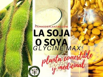 LA SOJA O SOYA,  Glycine max| DESCRIPCION, PROPIEDADES Y USOS