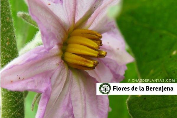 1-Flores de la Berenjena
