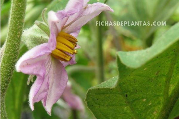 2-Flores de la Berenjena