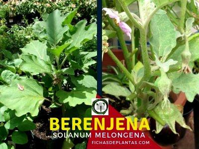 Berenjena, Solanum melongena | Descripción y Propiedades