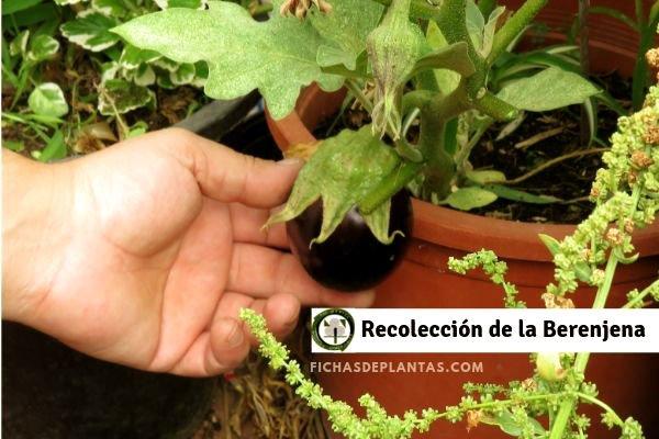 Berenjena Recolección