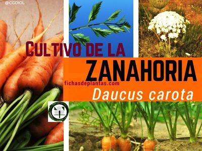 La Zanahoria,  Daucus carota | DESCRIPCIÓN Y PROPIEDADES MEDICINALES