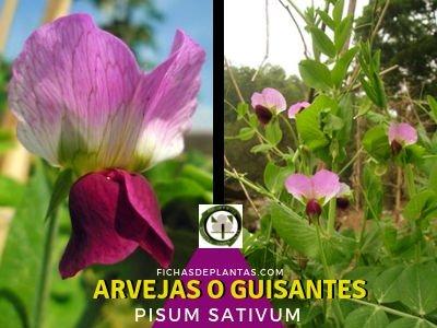 Arvejas o Guisantes, Pisum sativum