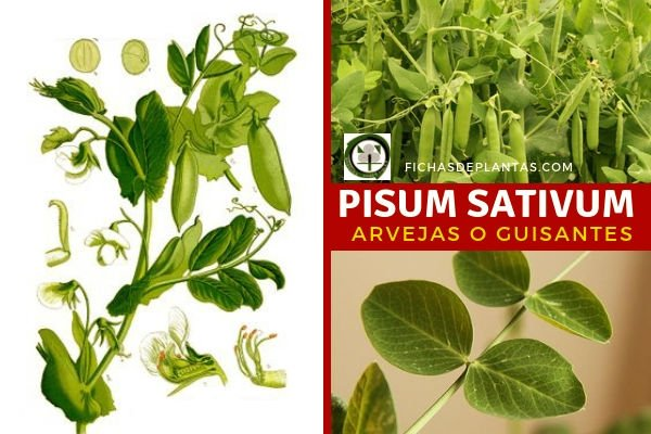 Pisum sativum, Guisantes