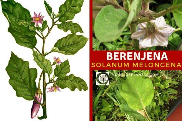 Solanum melongena, Berenjena