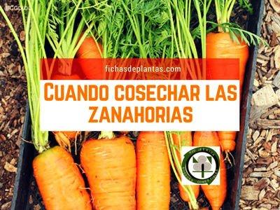 cosechar-zanahorias
