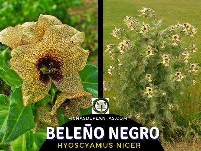 Beleño Negro, Hyoscyamus niger | DESCRIPCIÓN Y PROPIEDADES MEDICINALES