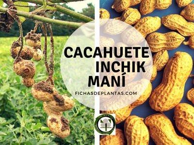 CACAHUETE,  Arachis hypogaea | DESCRIPCIÓN Y PROPIEDADES MEDICINALES